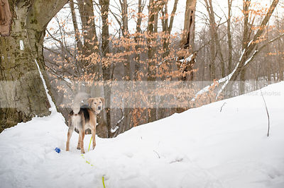 black and tan shepherd dog looking back in snow forest