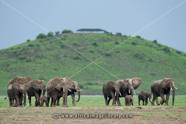 African elephants ( Loxodonta africana africana) in front of Observation Hill, Amboseli National Park, Kenya