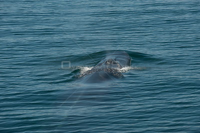 Fin whale {Baleanoptera physalus} surfacing, Loreto Marine Reserve, Gulf of California, Mexico