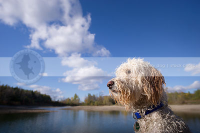 headshot of handsome wet curly coated dog at lake with sky and clouds