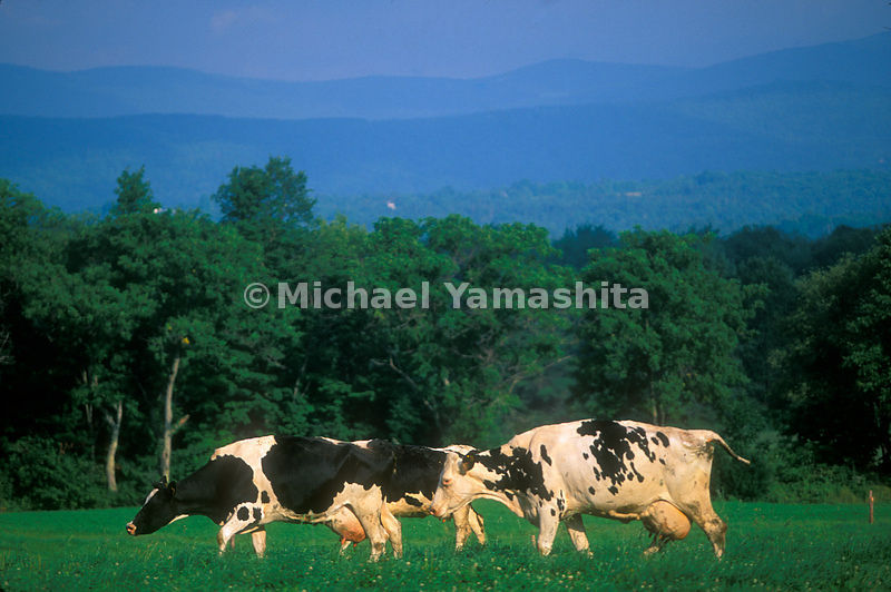 Cows in a pasture in the Crasftsbury Region of Vermont.