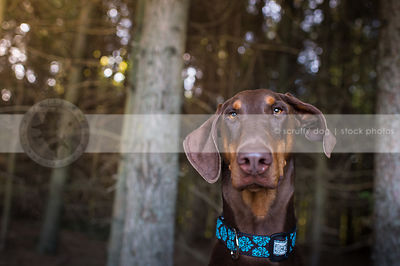 headshot of calm red and tan doberman dog staring in pine forest