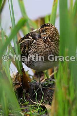 Common Snipe (Gallinago gallinago) roosting with its long bill tucked under its wing, Leighton Moss (RSPB), Carnforth, Lancas...