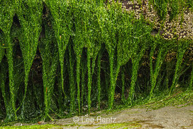 Green Seaweed Exposed at Low Tide at Point of Arches