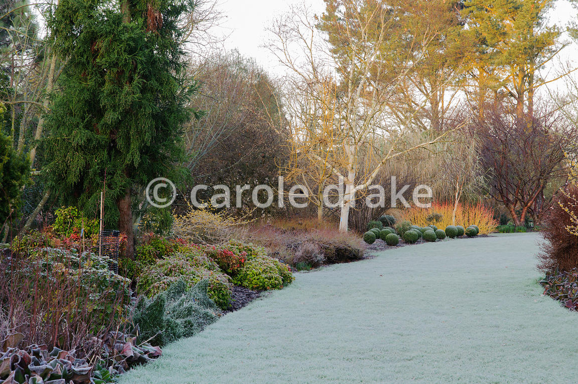 Winter garden includes evergreens such as Euonymus minimus and clipped box, colourful stems such as Cornus sanguinea 'Midwint...
