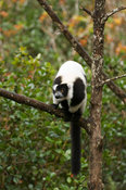 White-belted Black and white ruffed lemur (Varecia variegata subcincta), Vakona Forest Reserve, Andasibe Mantadia National Pa...