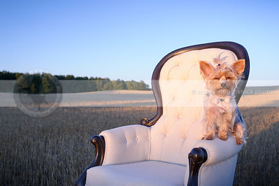 groomed little dog squinting perched on arm of chair in field