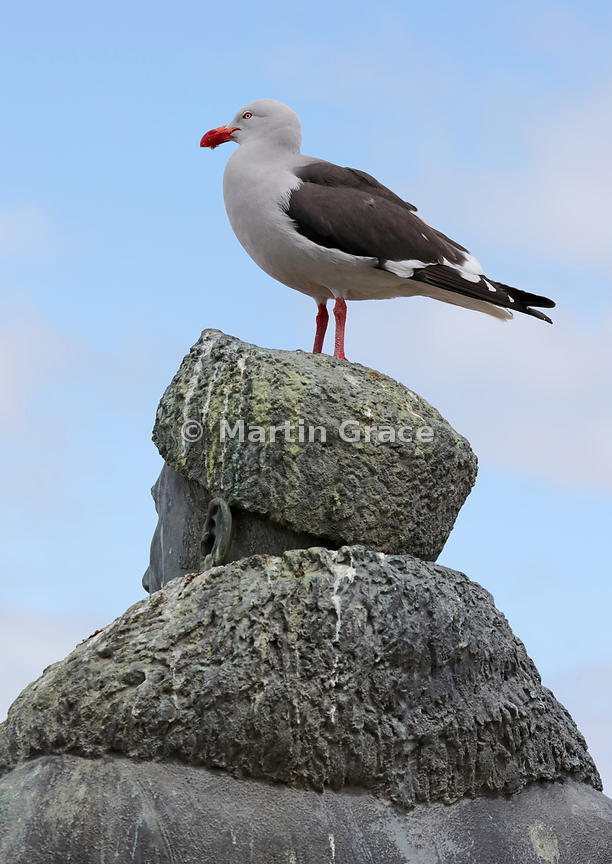 Dolphin Gull (Larus scoresbii) perches on top of a statue of Adrien de Gerlache (1866 - 1934), a Belgian polar explorer, Ushu...
