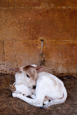A calf chained to a wall in Jaisalmer, Rajasthan, India