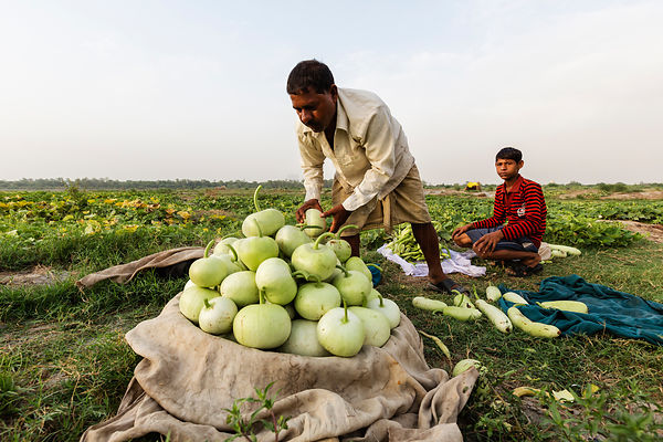 Harvesting Gourds (Lauki) from the Yamuna Flood Plain