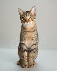 Tabby Cat with Yellow Eyes Sitting Against Studio Background