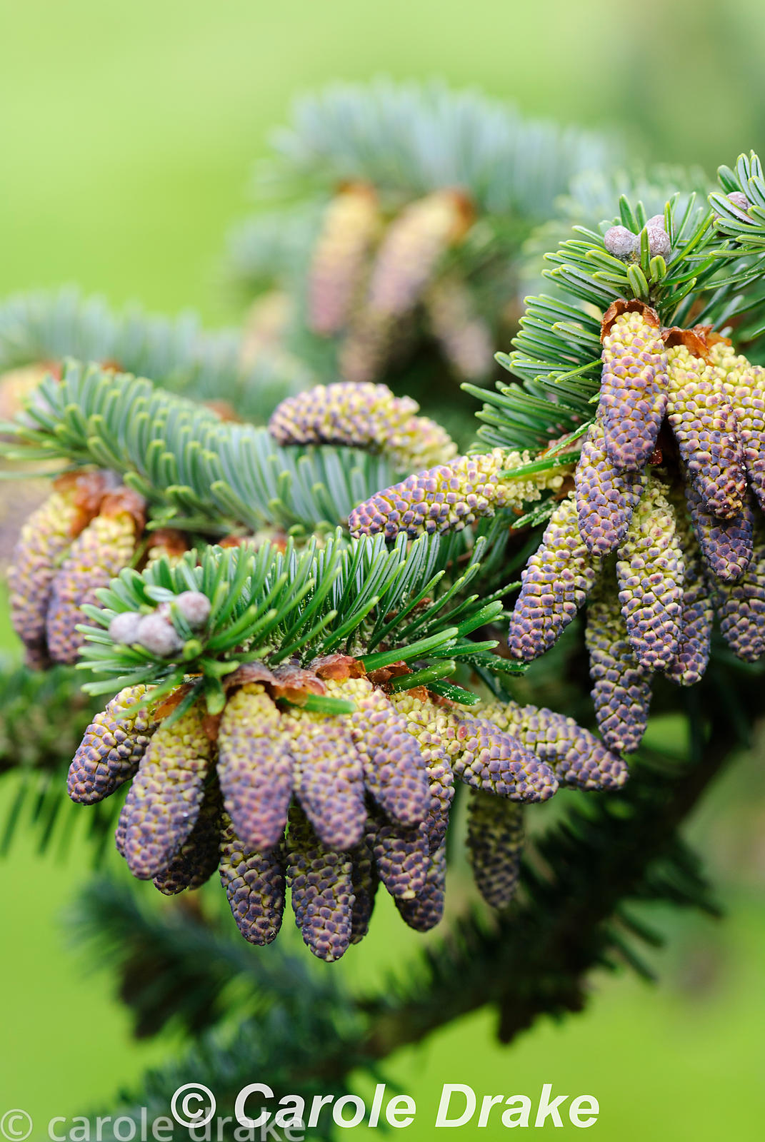 Abies forrestii. Sir Harold Hillier Gardens/Hampshire County Council, Romsey, Hants, UK