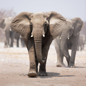 Elephant approaching with the herd following behind