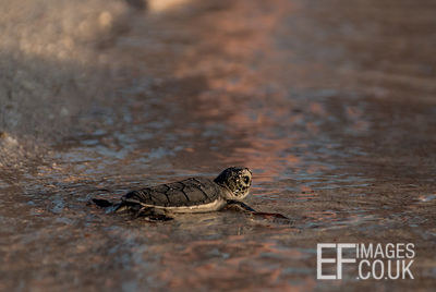 Baby Green Turtle Hatchling At The Edge Of The Water For The First Time