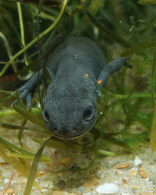 Cynops orientalis