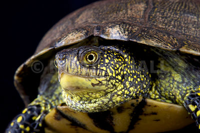 European pond turtle (Emys orbicularis orbicularis)