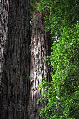 Redwood shafts in Jedidiah Smith Redwoods State Park, California