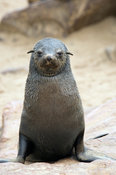 Young Cape fur Seal. The Cape fur seal (Arcocephalus pusillus pusillus) is endemic to Southern Africa. Cape Cross, Skeleton C...