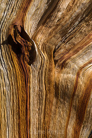 Exposed Bristlecone Pine Wood in Great Basin National Park