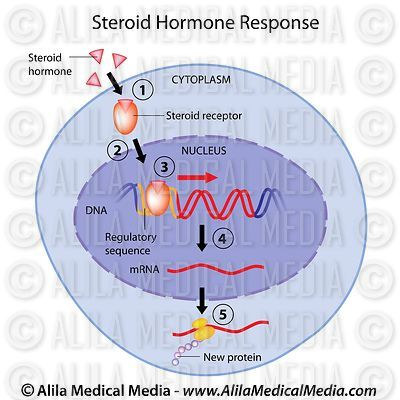 Steroid hormones action