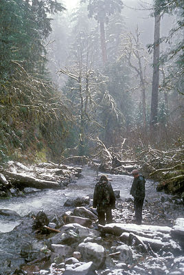 Hikers in the snow along a tributary to Winberry Creek, with massive Douglas-fir forest in the background. Willamette nationa...