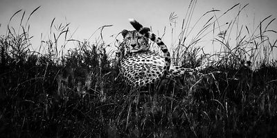 03422-Cheetah_waiting_in_the_grass_Laurent_Baheux