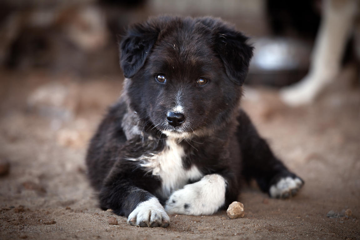 Portrait of a puppy at the Tree of Life for Animals rescue center in Pushkar, India