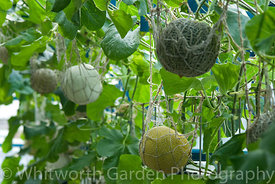 Cucumis melo - Melons with netting supports growing in a Melon House. © Jo Whitworth