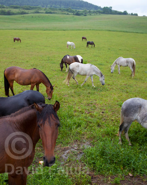 Herd of horses (Equus caballus) grazing in the rain