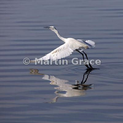 Little Egret (Egretta garzetta garzetta) taking off, Leighton Moss, Carnforth, Lancashire, England