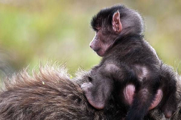A baby baboon from the Kanonkop troop in Smitswinkel Flats, Cape Peninsula, South Africa