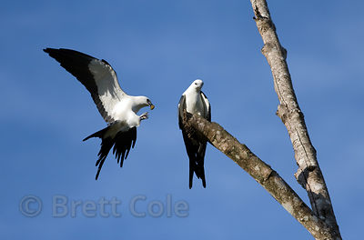 American swallow-tailed kite (Elanoides forficatus) bringing food to its mate, La Escondita, near San Isidro, Costa Rica