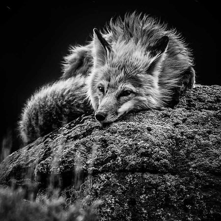 3005-Renard_Roux_du_Yellowstone_Wyoming_USA_2014_Laurent_Baheux
