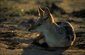Black-backed jackal, Canis mesomelas,  Hwange National Park, Zimbabwe
