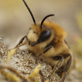 Colletes cunicularius, male