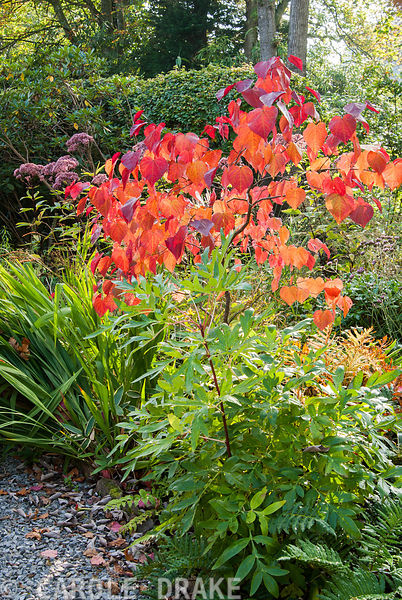 Fiery autumn tones of Cercis canadensis 'Forest Pansy' surrounded by ferns, tree peony and crocosmia. The Cors, Laugharne, Ca...