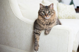 Striped Maine Coon Cat Mix Relaxing on White Sofa