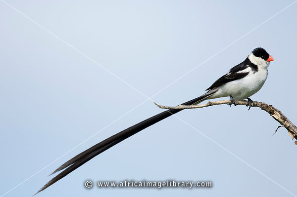 Pin-tailed whydah, Vidua macroura, Kruger National Park, South Africa
