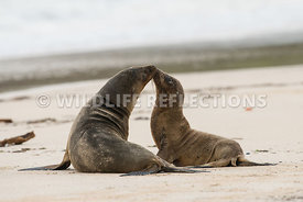 galapagos_sea_lion_santa_fe_mom_and_pup-5