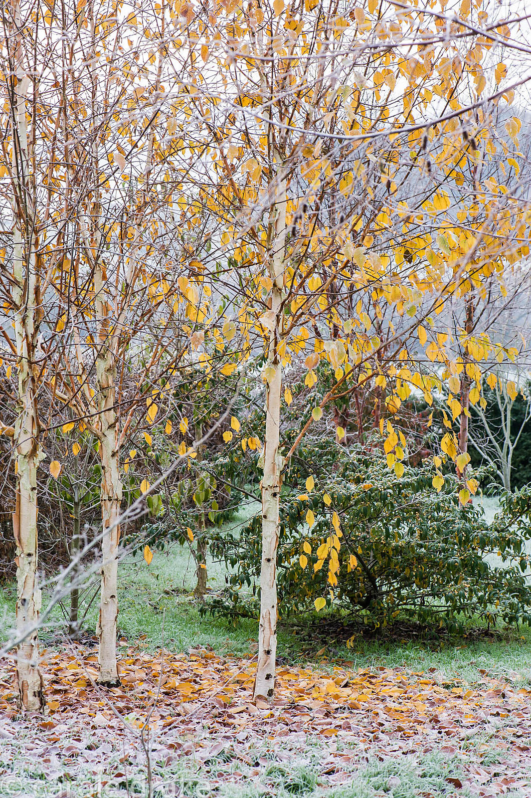 Betula utilis var. jacquemontii 'Grayswood Ghost' hanging on to its yellow leaves.
