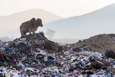 Cows grazing on a field of plastic bags at the Pushkar municipal dumping ground (landfill), Pushkar, Rajasthan, India. Landfi...