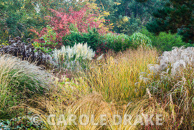 Cortaderia 'Sunningdale Silver' framed by red leaved euonymus, eupatorium and phlomis seedheads plus grasses including feathe...