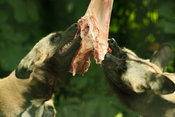 African wild dogs eating meat