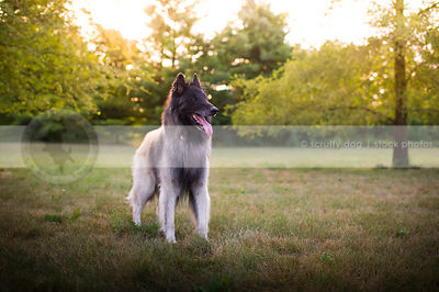 hot shepherd dog panting standing in park  with sunflare trees
