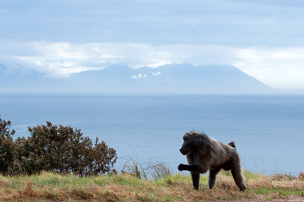 Alpha male chacma baboon from the Smitswinkel troop, with the Atlantic Ocean in the background, near Miller's Point, Cape Pen...