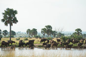 Buffalo (Syncerus caffer caffer) on the bank of the Nile River, Murchison Falls National Park, Uganda