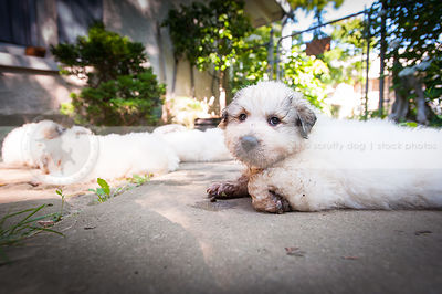 cute dirty white puppy dog lying on patio in yard