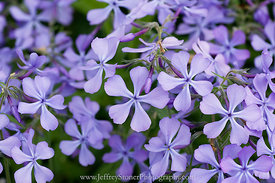 Into the Phlox