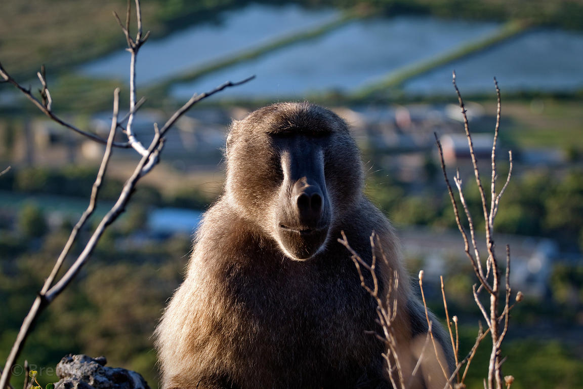 Alpha male chacma baboon from the Slangkop troop on a mountain above the town of Ocean View, Cape Peninsula, South Africa