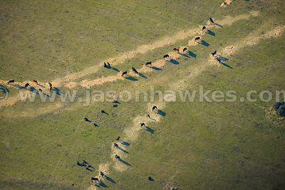 Aerial view of cows grazing, Madrid, Spain